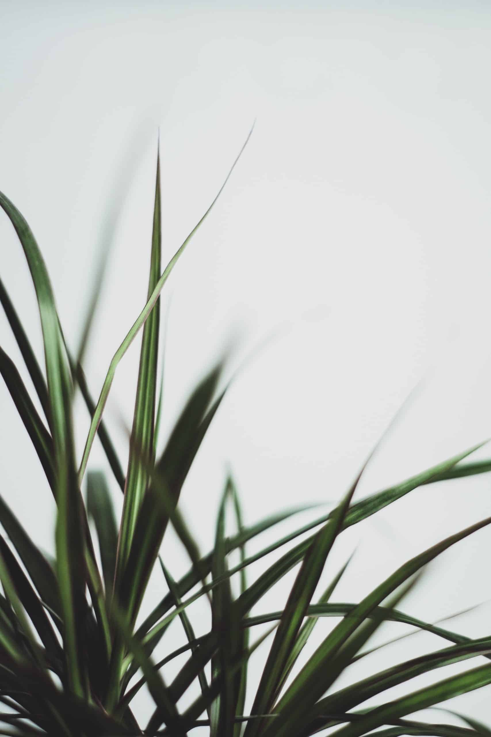 A Guide To Take Care Of Dracaena On Your Own
