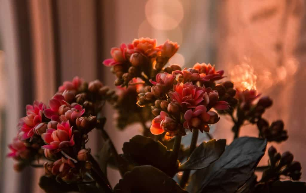 How To Boost The Growth Of Kalanchoe