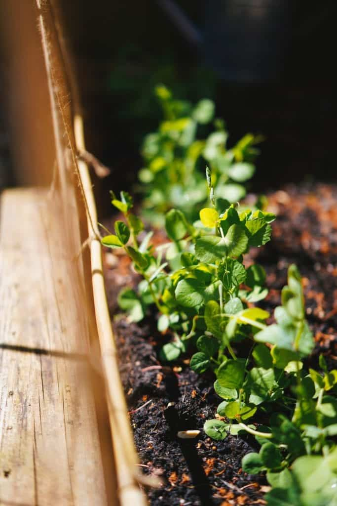Omission Of Companion Planting May Not Be Effective