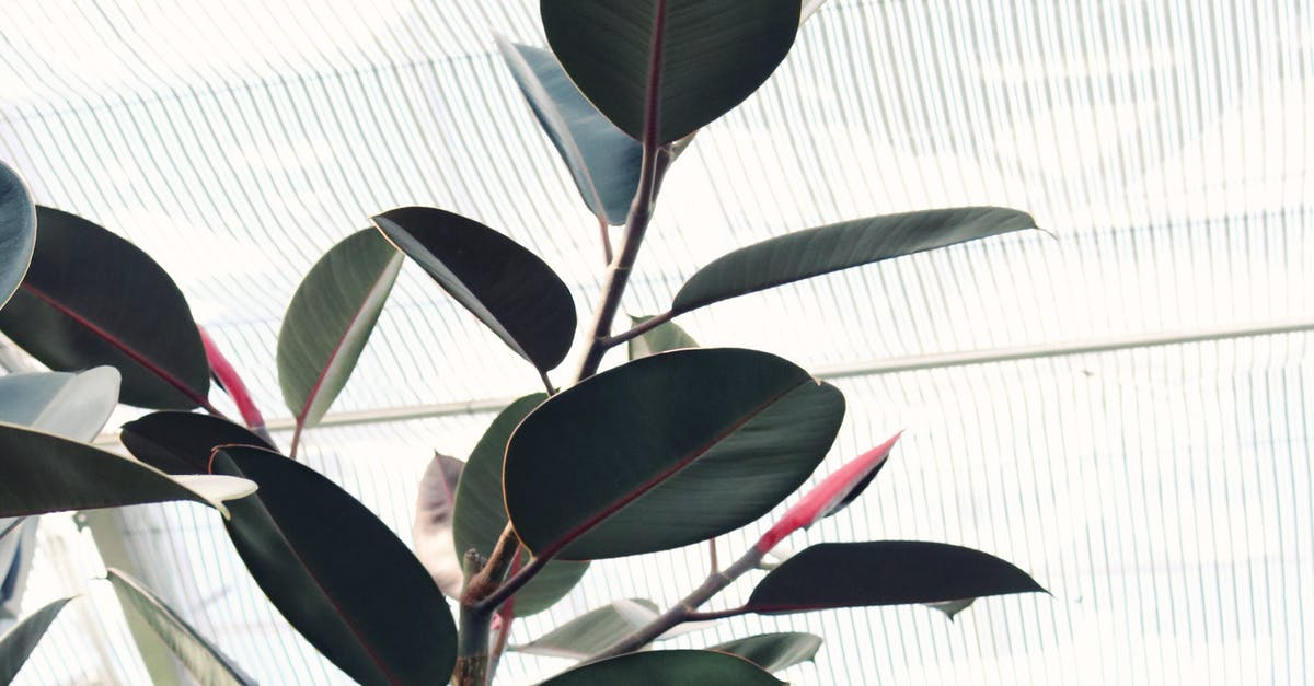 rubber plant care indoor